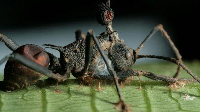 Ze brengen de besmette mier ver weg van de kolonie zodat het virus zich niet zal verspreiden binnen de kolonie