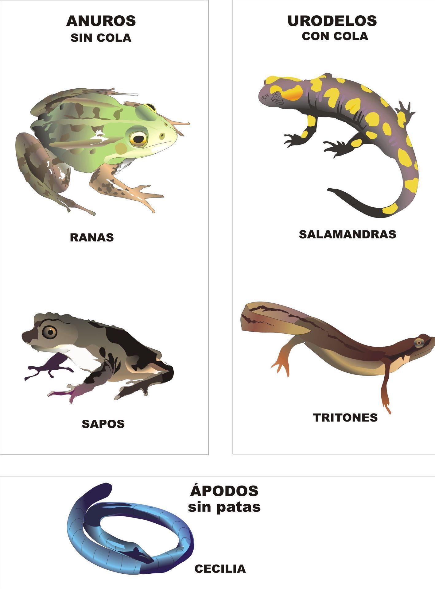 ⚫ ORDEN ANURA, anuros, ranas y sapos: Cabeza y tronco , sin cola, sin escamas, dos pares de extremidades, boca grande, pulmones, 6-10 vertebras incluyendo urostilo (coxis)