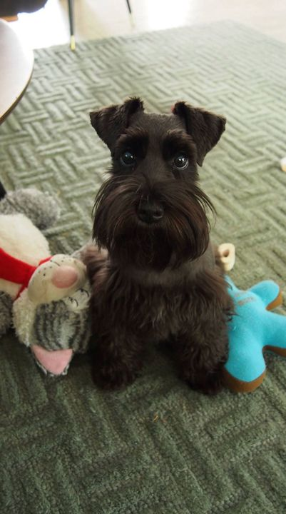 When I was 12 years old my family had a miniature schnauzer