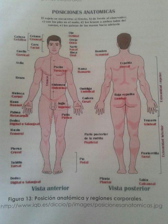 Anatomía, Fisiología Y Más - Posición anatómica - Wattpad