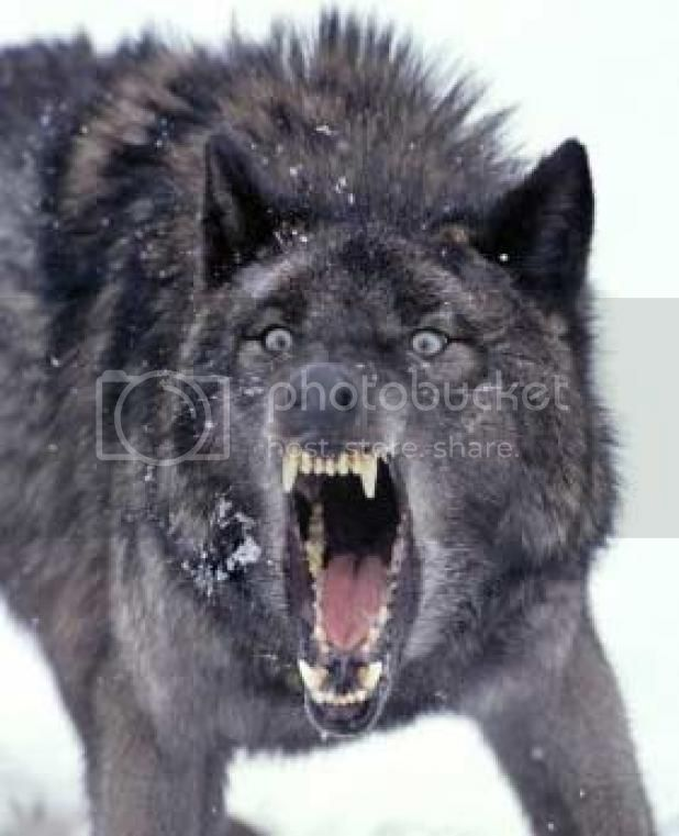 Image result for images of angry wolves