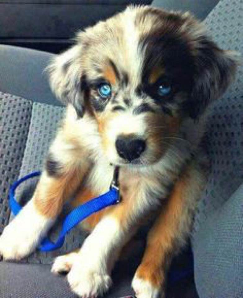 Australian Shepherd Lab Mix Beginners Guide with Facts