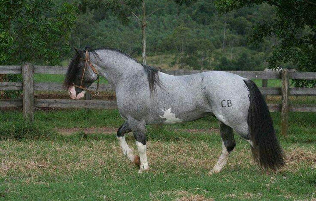 Blue Roan Paint Horses For Sale