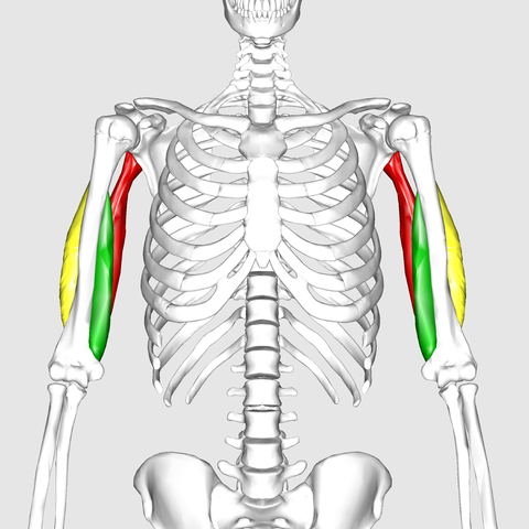 The green muscle you see in this second picture is the medial head muscle of the tricep, which is right under the long head and after the lateral muscle, which is outside the triceps