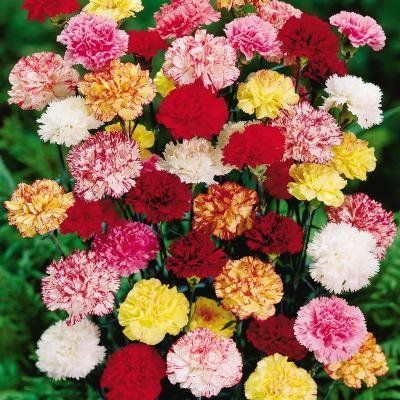 Carnation: White Carnations symbolize purity
