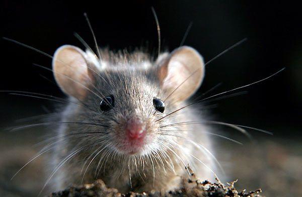 Podobnie jak jaskółki, myszy utożsamiano z czarownicami