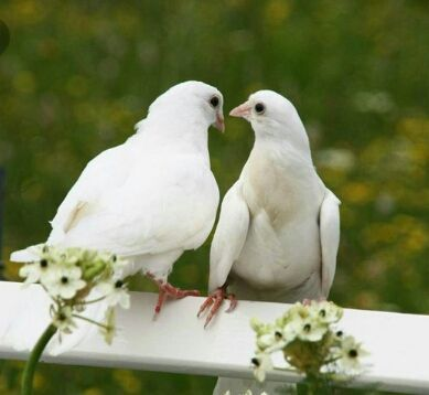 Download 41 Foto Gambar Burung Merpati Dan Bunga Mawar