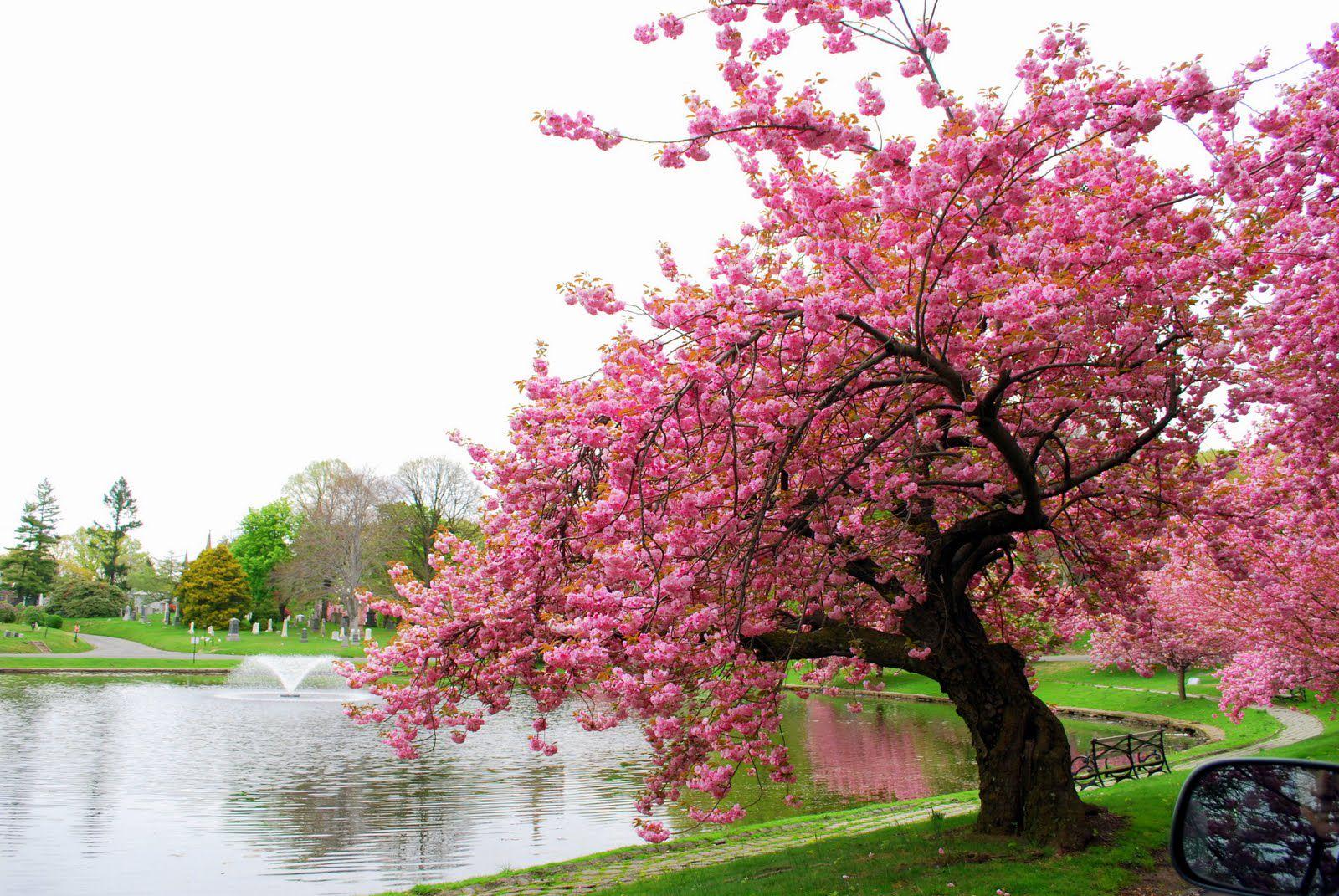 картинки сакуры в цвету полностью супруга