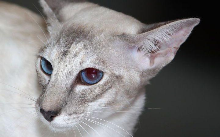 Rasy Kotów Colorpoint Krótkowłosy Wattpad