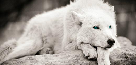 """Résultat de recherche d'images pour """"image loup blanc yeux bleu"""""""