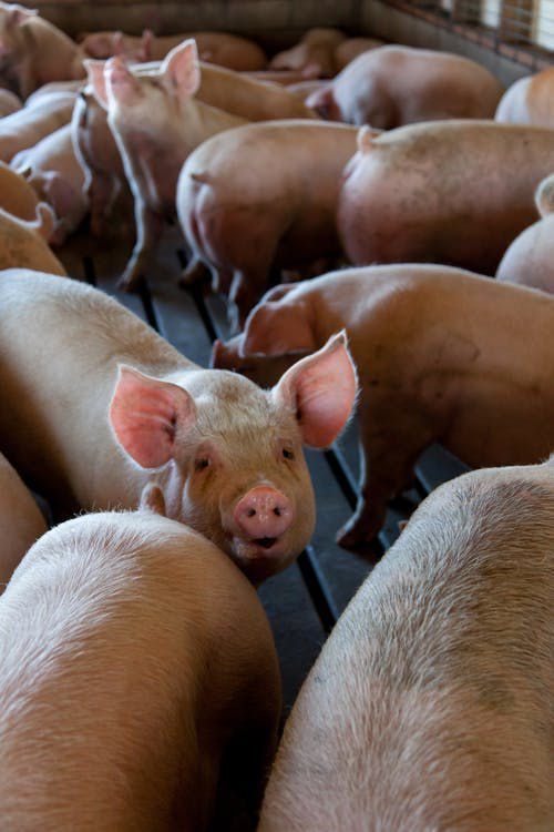 At His command, the unclean spirits went out, and entered into the swine: and the herd ran violently down a steep place into the sea, (they were about two thousand;) and were choked in the sea