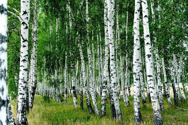 Sadzono te drzewa po północnej stronie mogiły tak, żeby drzewo to litościwe, opłakujące obfitym sokiem i czule otulające witkami mogiłę, nie zasłaniało zmarłemu wędrującego po niebie słońca
