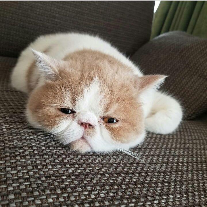 Gambar Kucing Wajah Manusia Lucu godean.web.id