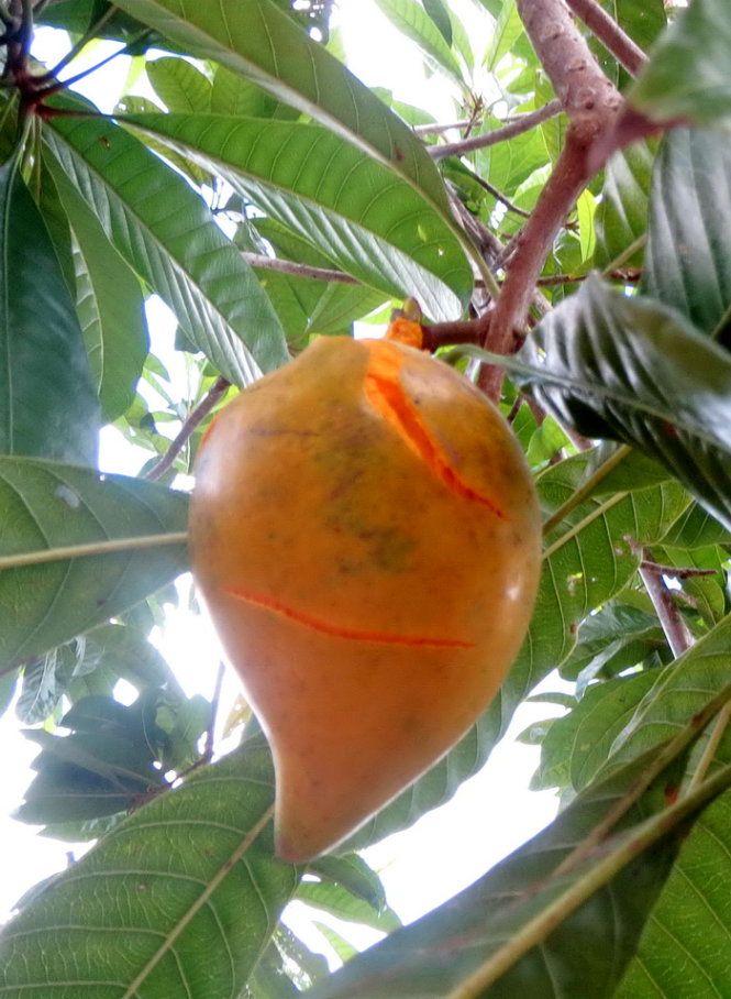 Hải Đông đưa tay đón lấy trên mặt không dấu được ngạc nhiên hít hít hai quả hồng trứng chín vừa nứt