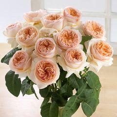 *Fact: David Austin là nhà thực vật học nổi tiếng ở Anh, ông đã dùng thời gian 15 năm để tự tay chăm sóc cho những cây hoa hồng độc đáo này mà ông đã đặc tên là hoa hồng Juliet