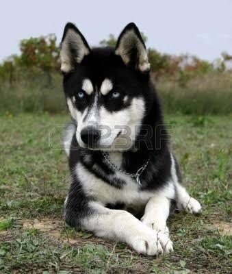 Husky con pelo corto