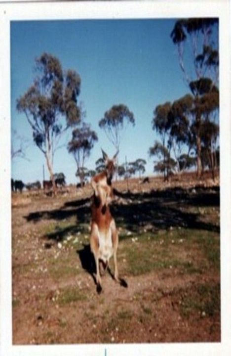 Author's Note:  Maybe some readers would like to see my first little chap all grown up? Some years later when we had moved far away, our friend sent us this photo of my Snoopy -  now over 6 foot tall - a Big Red - a true 'Old Man Roo'