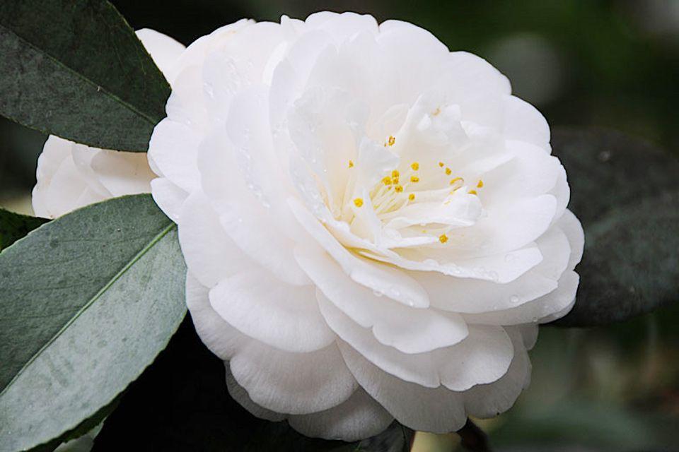 Sơn trà trắng mang một vẻ đẹp hoàn hảo cao sang lạnh lùng xen lẫn một chút u buồn cũng chính vì th mà nó mang ý nghĩa của sự thương tic chờ đợi trông mong một điều gì đó xa xăm Theo japo