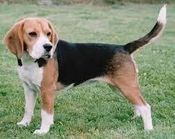 Sarge Beagle puppy ( oc ) as Scraps