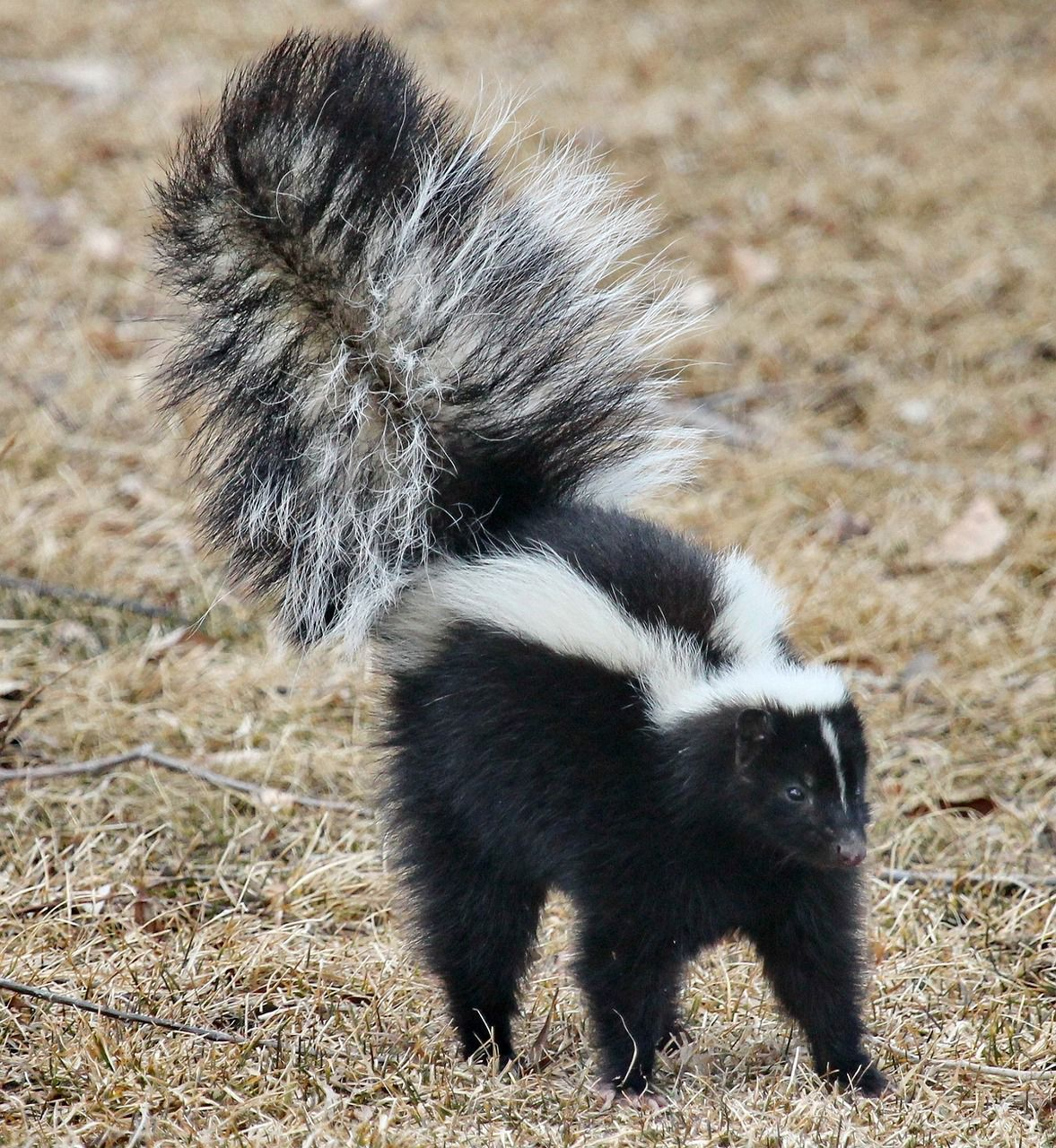 Skunk in action