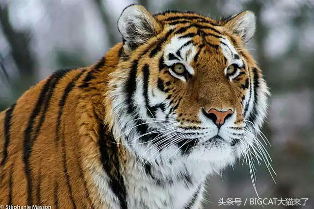 Hổ Đông Bắc - hổ Siberi hoang dã được mệnh danh là Chúa tể của rừng Taiga ngoài tên hổ Siberi thì loài này còn có tên hổ Amur hổ Triều Tiên hổ Ussuri hay hổ Mãn Châu là một phân loài hổ sinh sống chủ yu ở vùng núi Sikhote-Alin ở phía tây