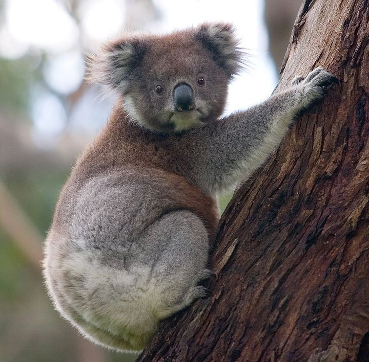 I would say a koala! Because not only is it from Australia, but koalas overall are very chill, friendly, and kind animals
