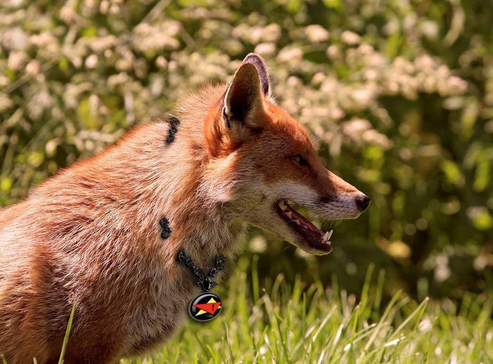 A red fox soul, guardian of Caleb Havard