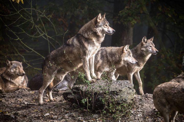 O kojarzeniu wilka wyłącznie ze złym świadczy też ludowy zwrot złapać wilka, szczególnie upodobany przez babcie chcące przestrzec wnuków przed siedzeniem na betonie