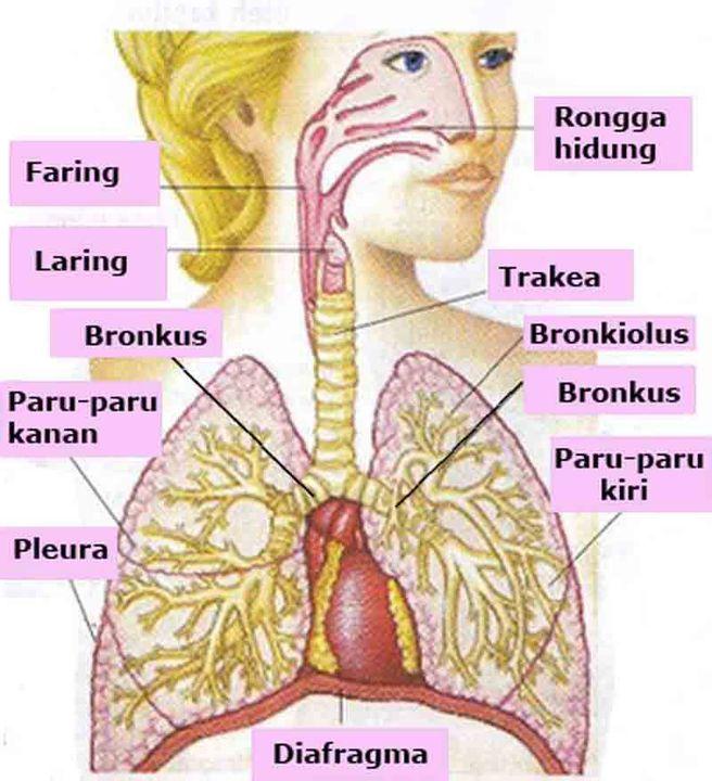 Anatomi Fisiologi 1 Sistem Pernafasan Respirasi Wattpad