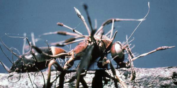 Andere mieren zullen de parasiet herkennen op de rug van de mier en zullen de mier met het virus wegbrengen