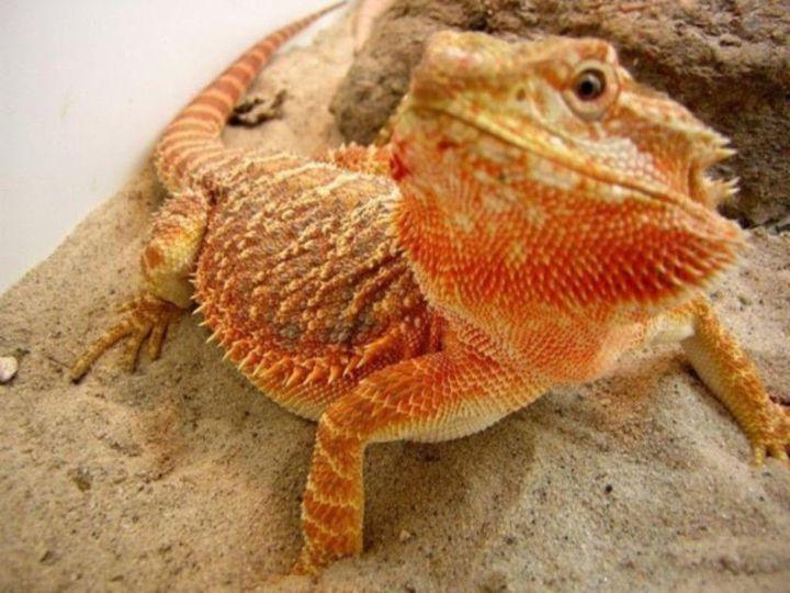 The daily life of the kidd    - Bearded Dragons - Wattpad
