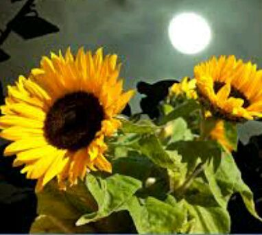 Bunga Matahari Vs Matahari Bunga Matahari Dan Awan Wattpad