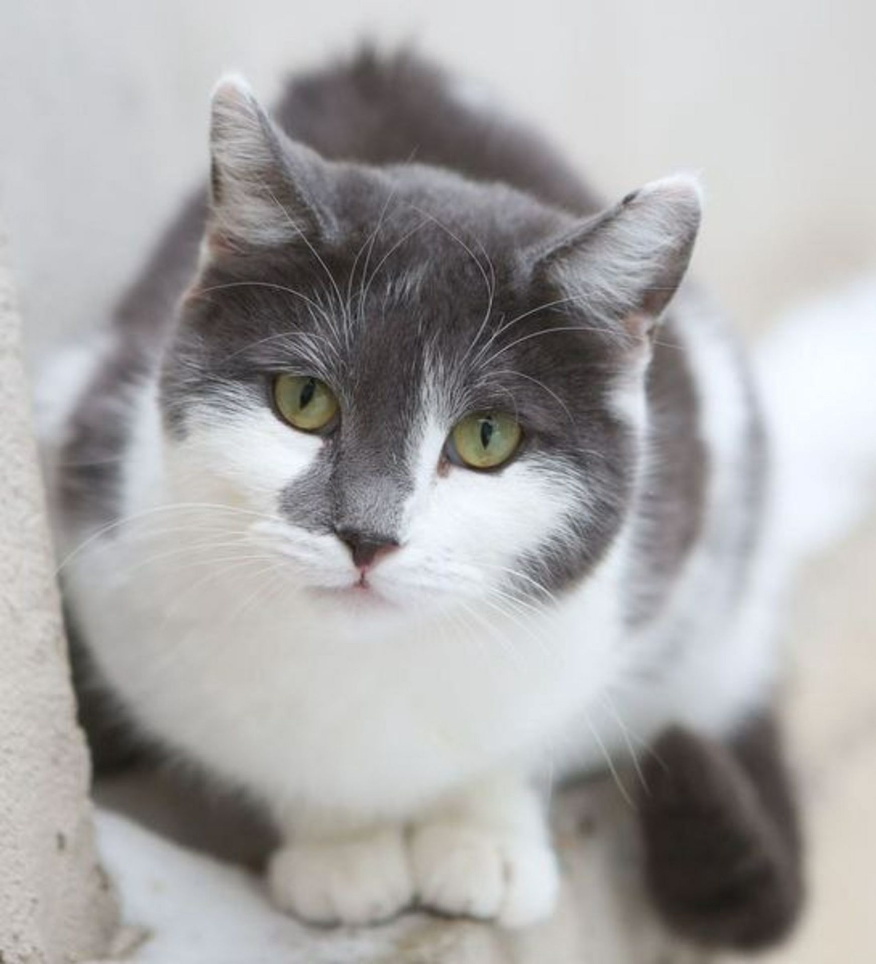 Картинки белых кошек с серыми пятнами