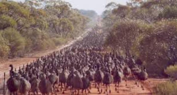 *Mob: collective noun for a group of emus