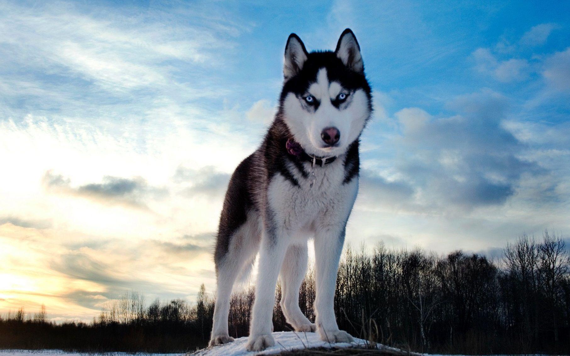 * Louis es un Husky Siberiano