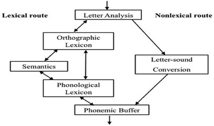 The lexical route (shown above) involves the process whereby words are recognised by memory