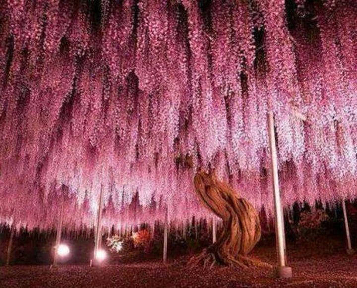 Тут я впал в ступор: дерево стало таким каким я его видел когда касался его, оно всё цвело розовыми цветами, которые переливались на солнце, это было прекрасно