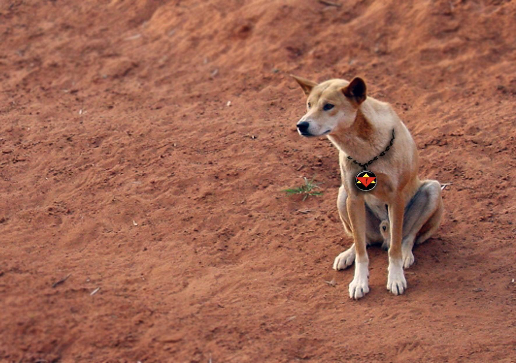 Dingo soul and guardian of Caleb Havard