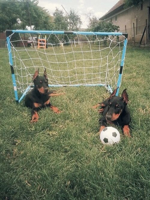 We both have dogs we have two Dobermans This is our dogs as puppy's