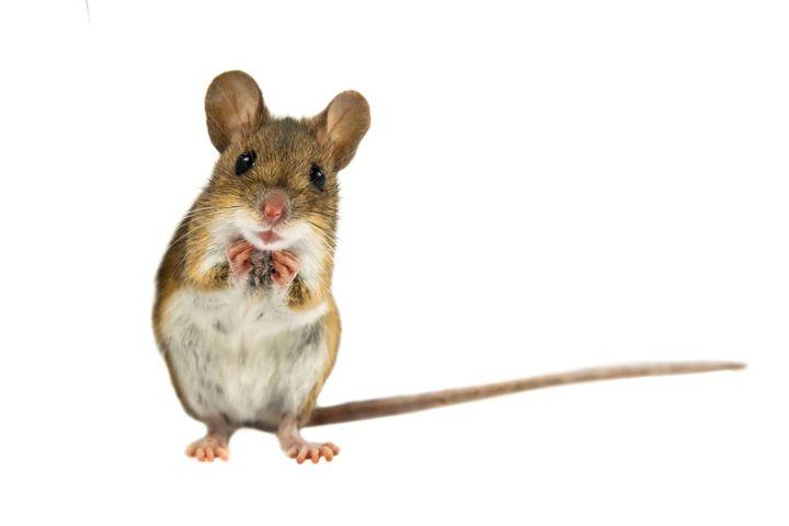 Wtedy należało zjeść nadgryzione przez myszy jedzenie i już nigdy żaden ząb nie bolał