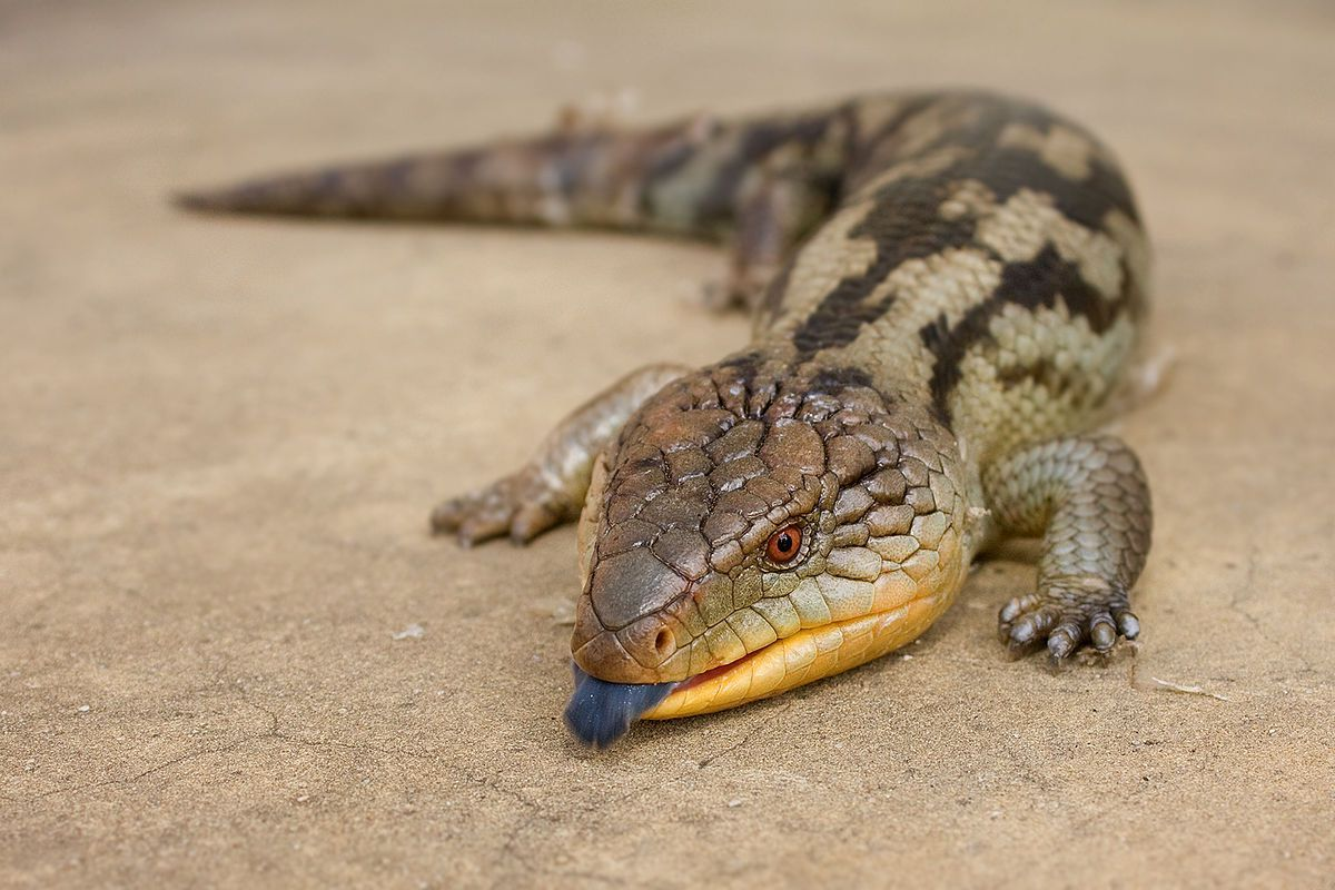 Later in that same chapter, the stumpy-legged demons that breached the Acrise wall are Blue-Tongued Skinks