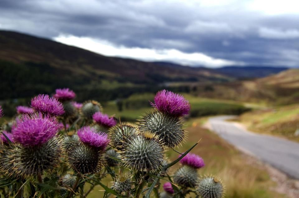 Цветок шотландии