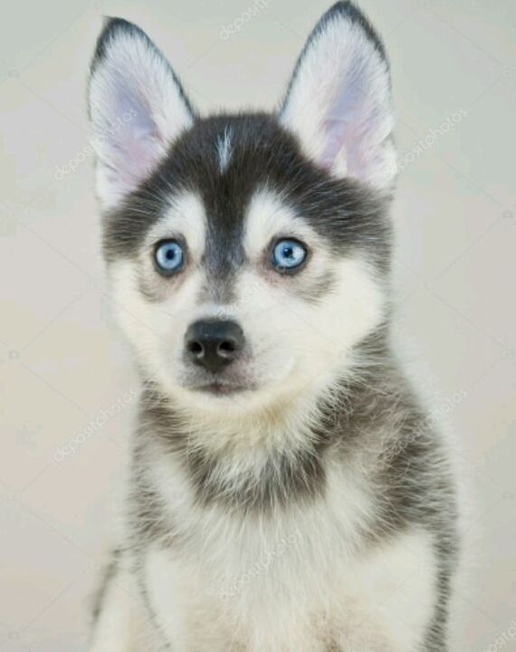 Cute Husky Puppies Images   Shareimages.co