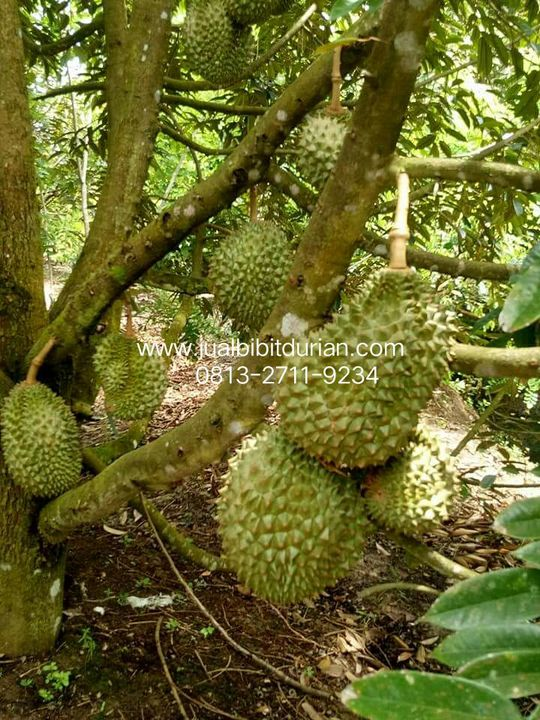 80+ Gambar Pohon Durian Yang Sedang Berbuah Terbaik