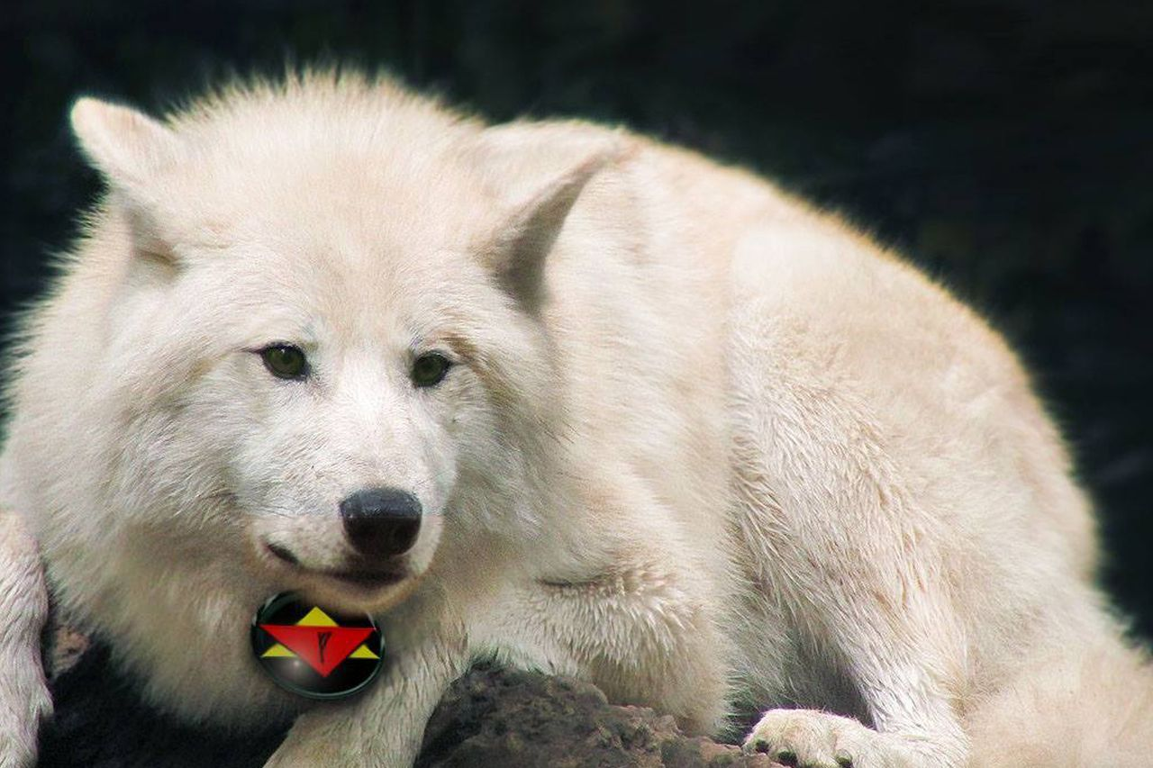 An Arctic wolf soul