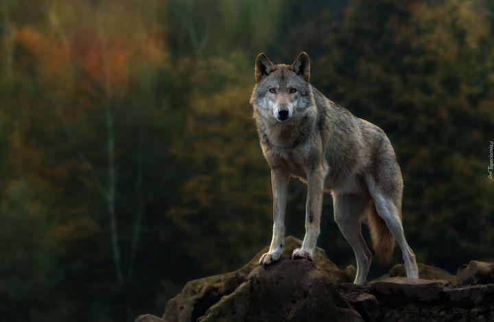 Polowaniom na wilki w dawnych wspólnotach słowiańskich towarzyszyło przeświadczenie o szczególnej atmosferze takich wypraw