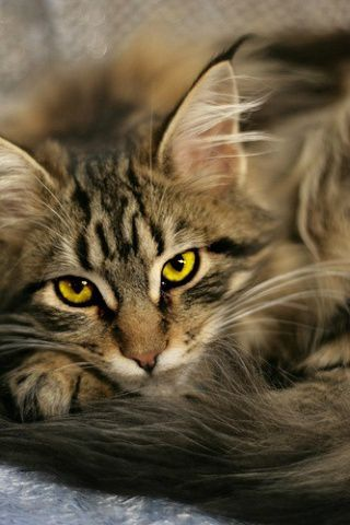Image result for dark brown tabby tom with amber eyes