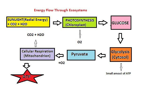Photosynthesis And Cellular Respiration Energy Flow In