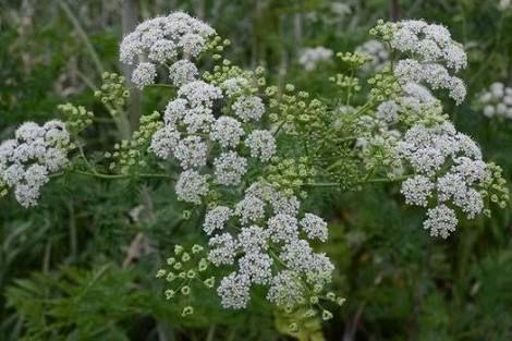 Một loại cây với những bông hoa màu trắng xinh đẹp nhưng lại mang trong mình chất kịch độc, có thể lấy mạng của một người trong tích tắc