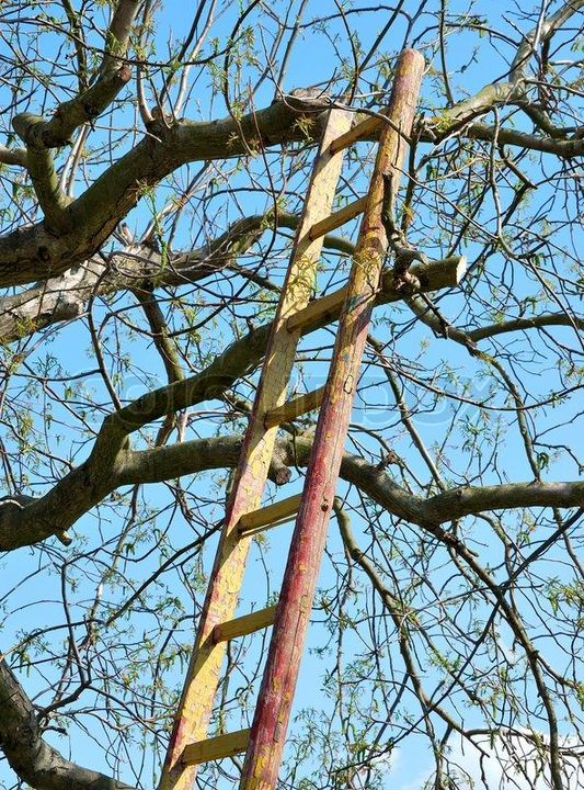 [Image description- a ladder leaning against the branches of a tree